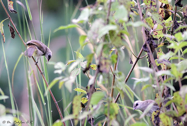 Yellow-vented Bulbuls at on Siam Weed (Chromolaena odorata)