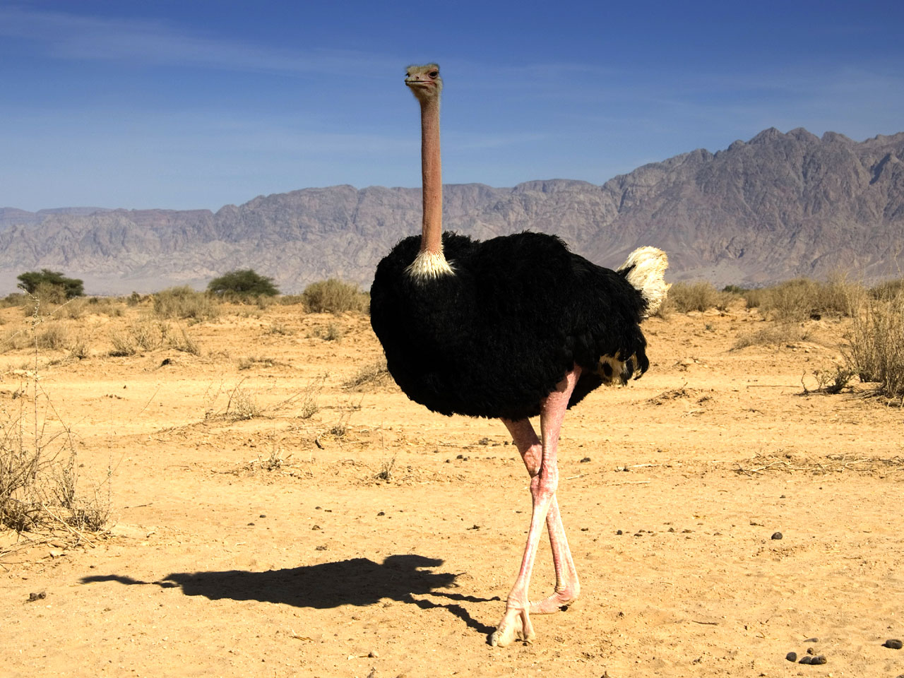 Beautiful Pictures OF Ostrich In HD | MixoPlanet.com