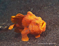 Frogfish Photo and Picture 2