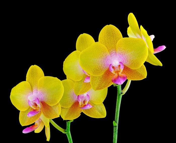 20 Gambar Foto Bunga Anggrek Yang Cantik