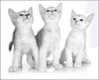 Silver Abyssinian Kitten