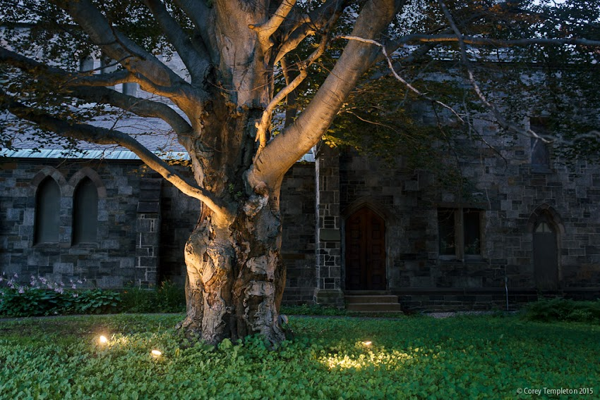 July 2015 Portland, Maine USA photo by Corey Templeton. The copper beech tree outside of St. Luke's Cathedral on State Street.