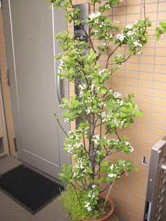 Miniature apple tree flowering in spring 2013, Tokyo.