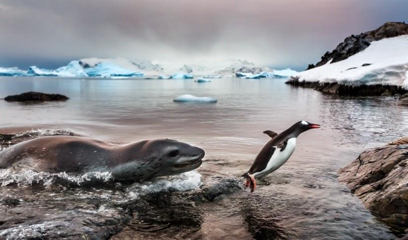 Foto de pinguim escapando de foca vence concurso de imagens de vida selvagem