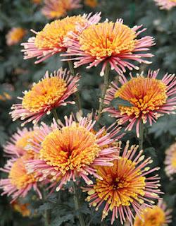 «Золотой» цветок - Хризантема