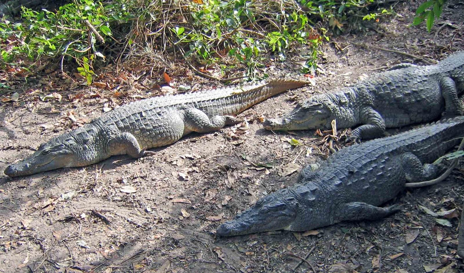 Crocodile Eating Elephant What The Crocodile Eating