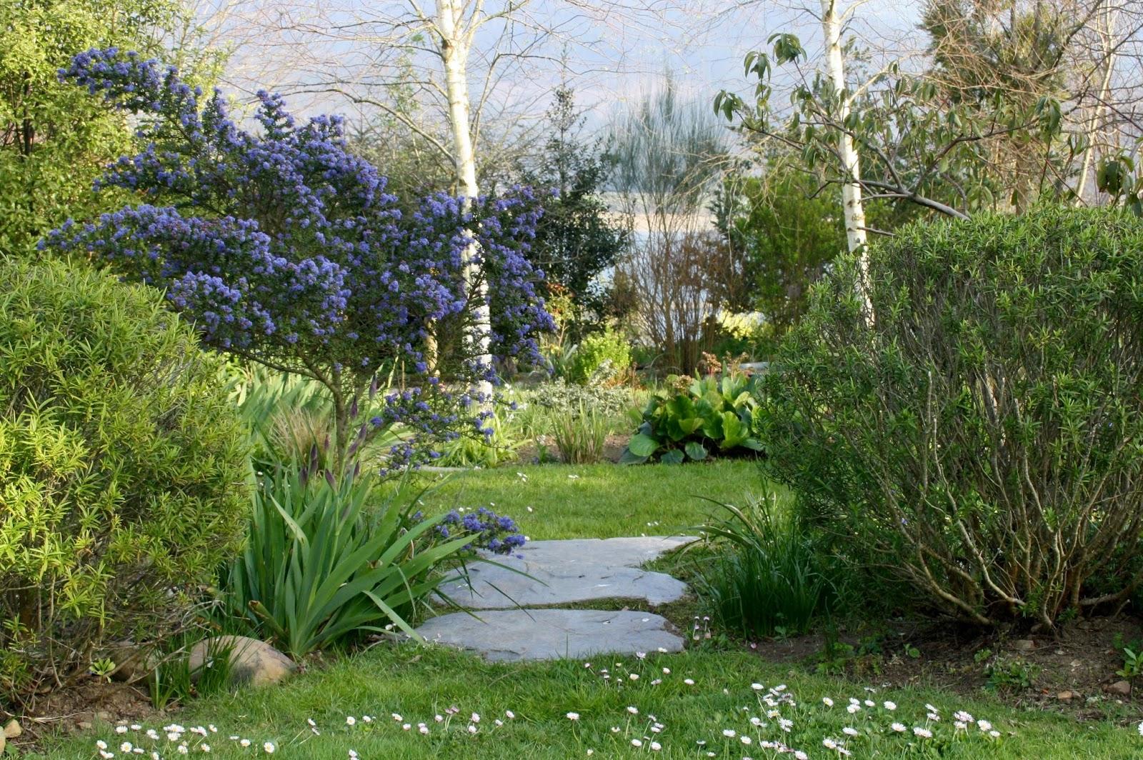 El jard n de margarita ceanothus de floraci n temprana for Jardin azul canal 9