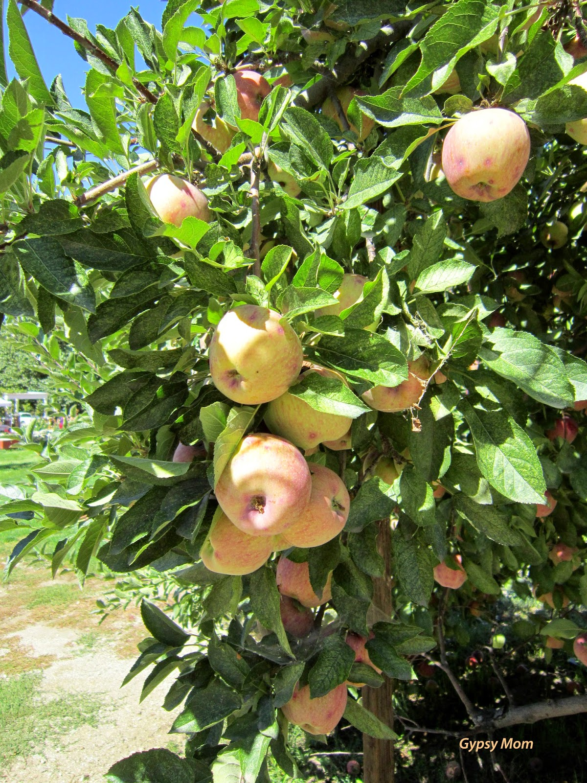 Apples on Apple Tree in Oak Glen, CA
