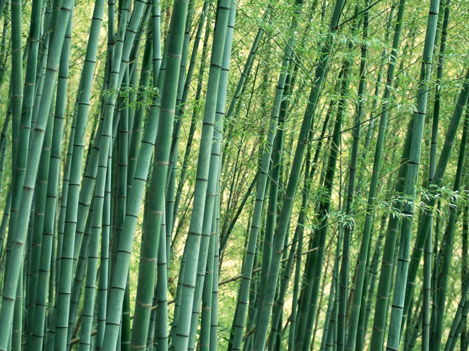 http://4.bp.blogspot.com/-eAwg18f4V3w/TqwP99eGMII/AAAAAAAABbU/-HVEciESAvE/s1600/bamboo-trees_wallpaper.jpg