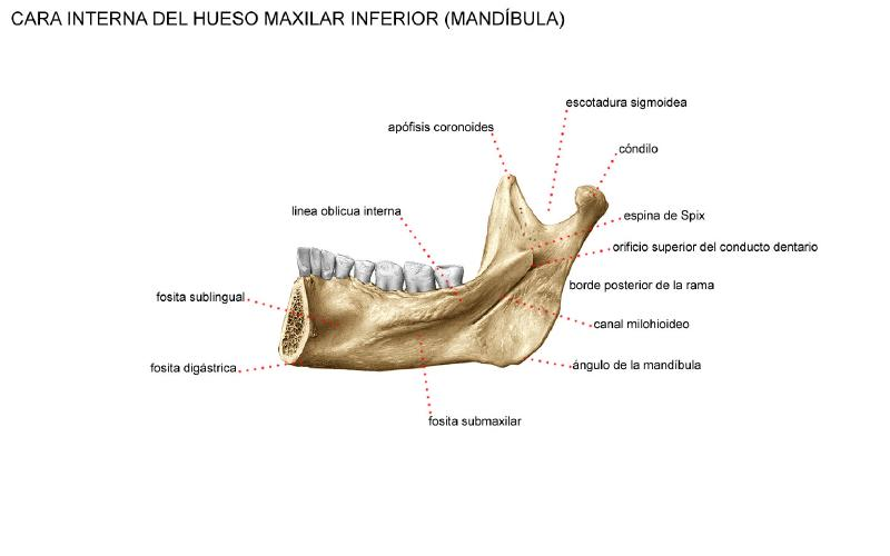 Huesos que componen la Cavidad Oral: HUESO MANDIBULAR O MAXILAR INFERIOR