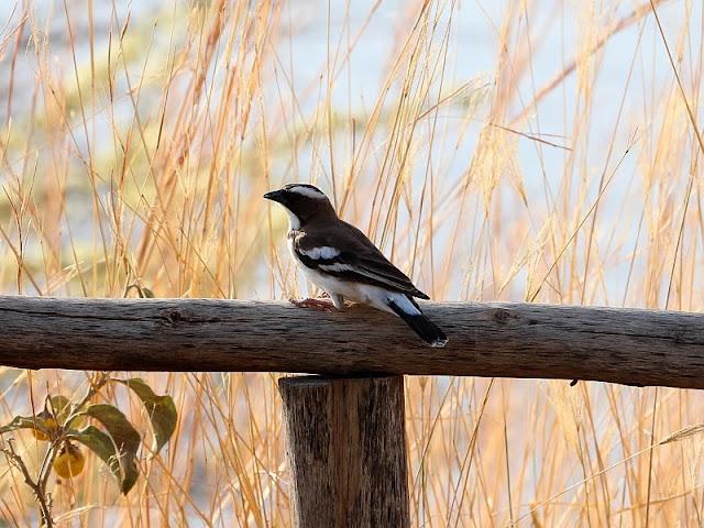 White-browed Sparrow-Weaver Ethiopia