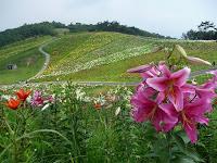 函館山の丘陵に咲くゆりの花
