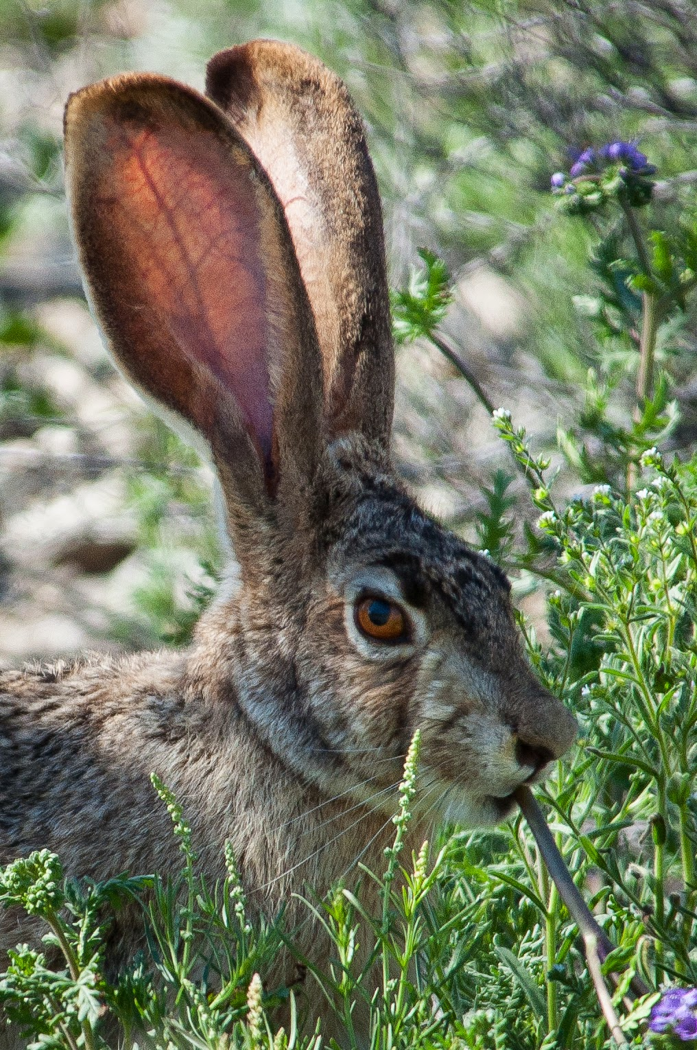 Jackrabbit, Big Bend National Park