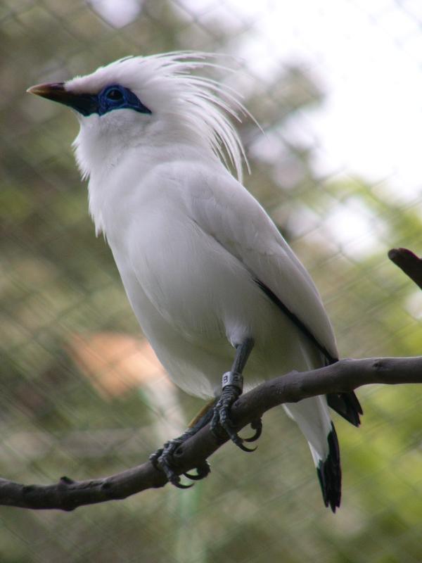 foto burung jalak bali