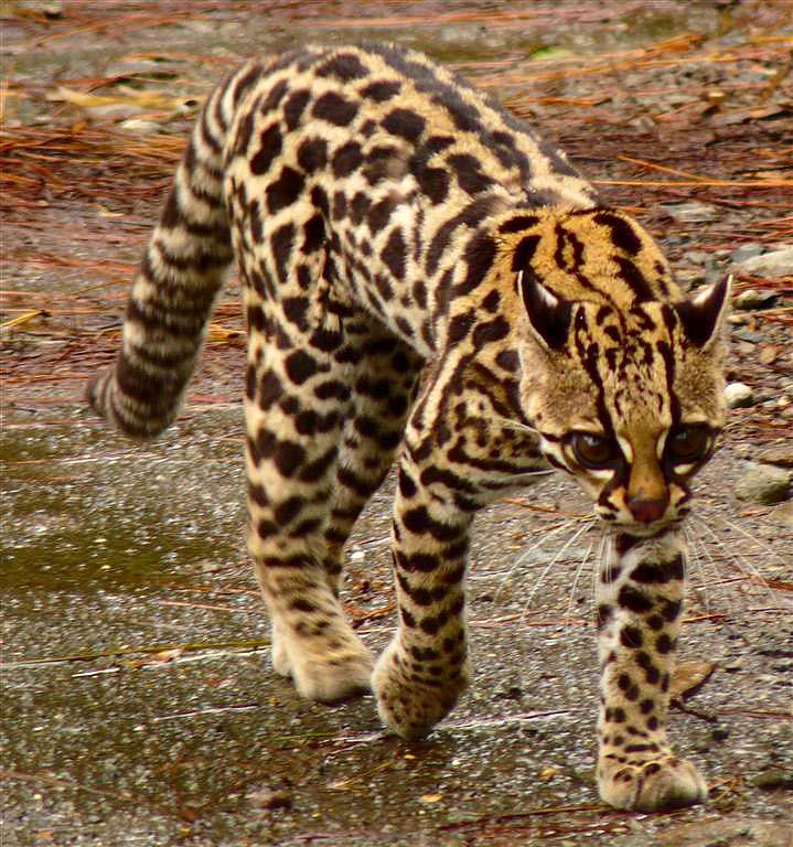 El Tigrillo colombia animales salvajes