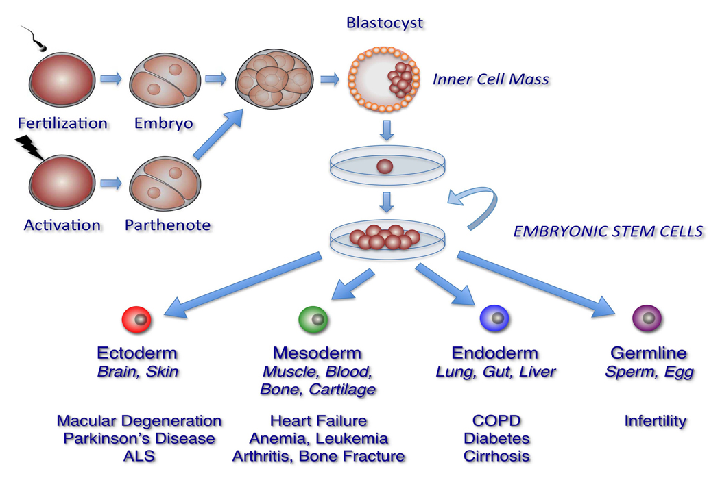 stem cell and embryonic stem cell Stanford medicine institute for stem cell biology stimulating stem cells to enhance stroke mature tissue stem cells embryonic stem cell new stem cell lines.
