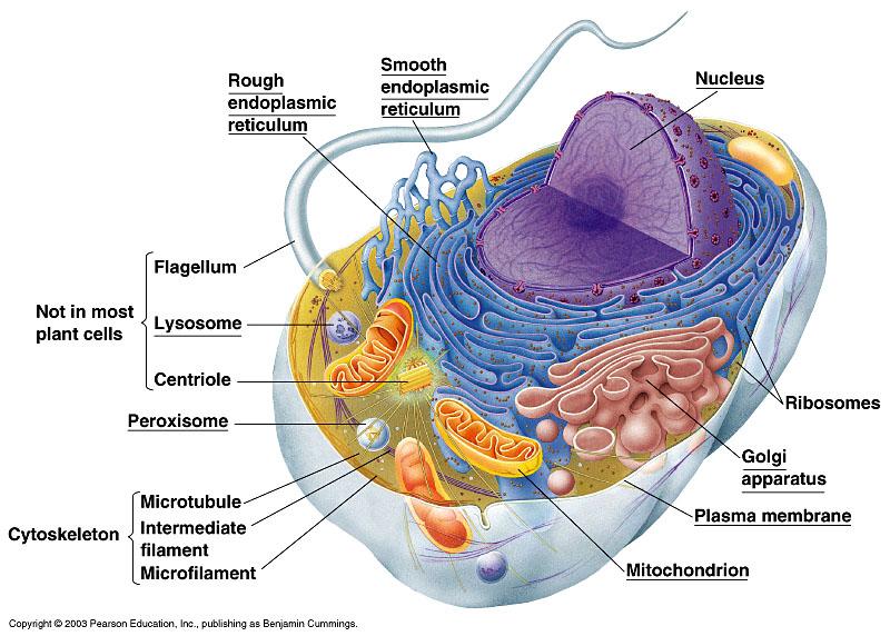 Gambar sel hewan