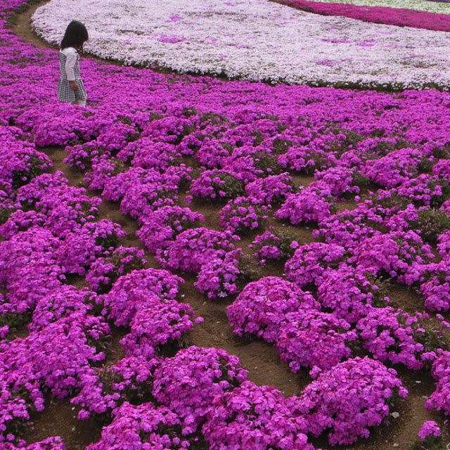 Takinocho Shibazakura Park, Japan, pink flower, bloom, mount