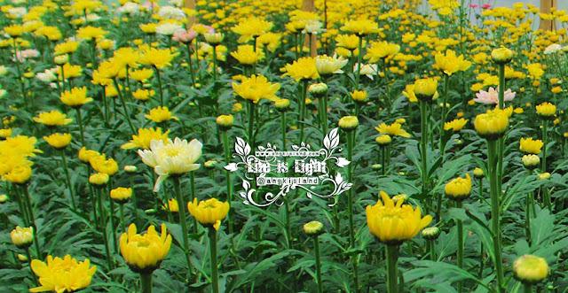 kebun bunga kersan