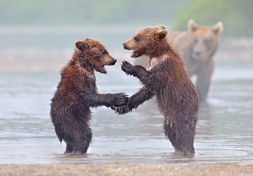 Ursos cumprimentando-se