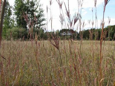 big bluestem among other grasses