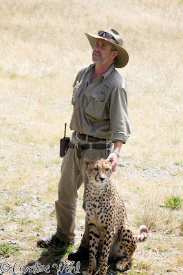 Cheetah and Keeper at Orana