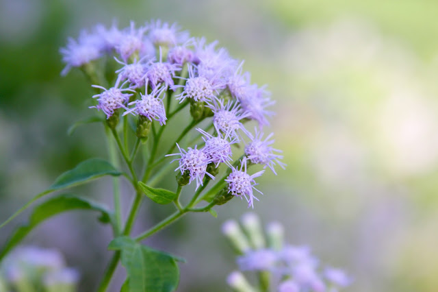 Blue Mistflower Blossom-Home Sweet Home Butterfly Garden-Needville, Texas
