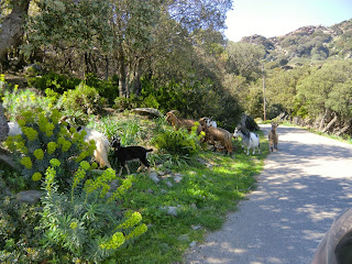 Goats on the D253 road to Tollare