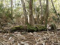 倒木した親木から枝が根を張る