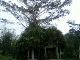 Pohon tumbuh di atap rumah tua Jembatan Akar Pohon paling unik dan aneh di indonesia