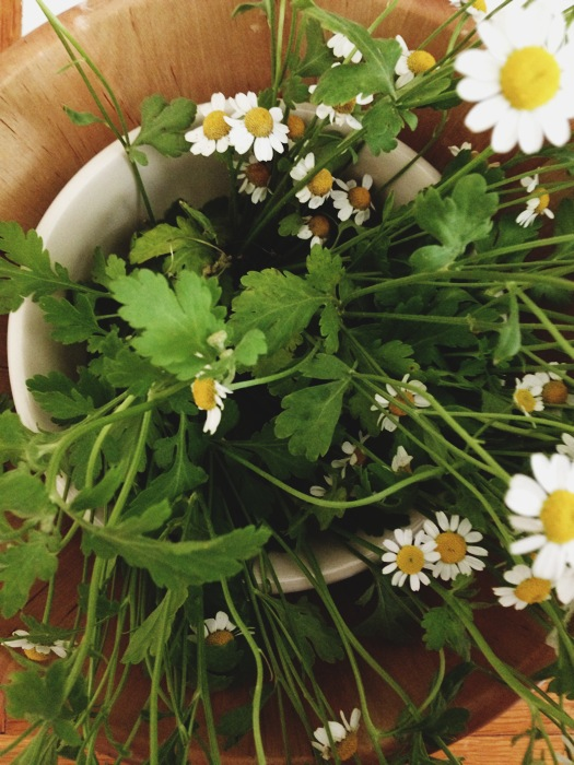 chamomile+flowers+2.JPG
