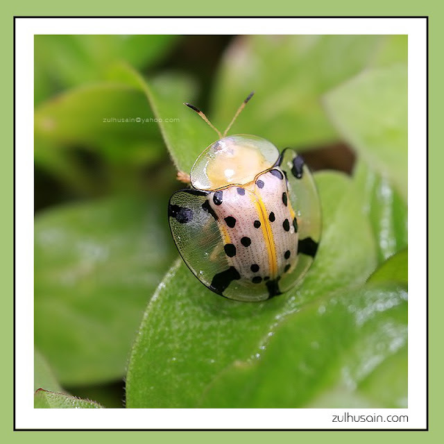Dotted Tortoise Beetle