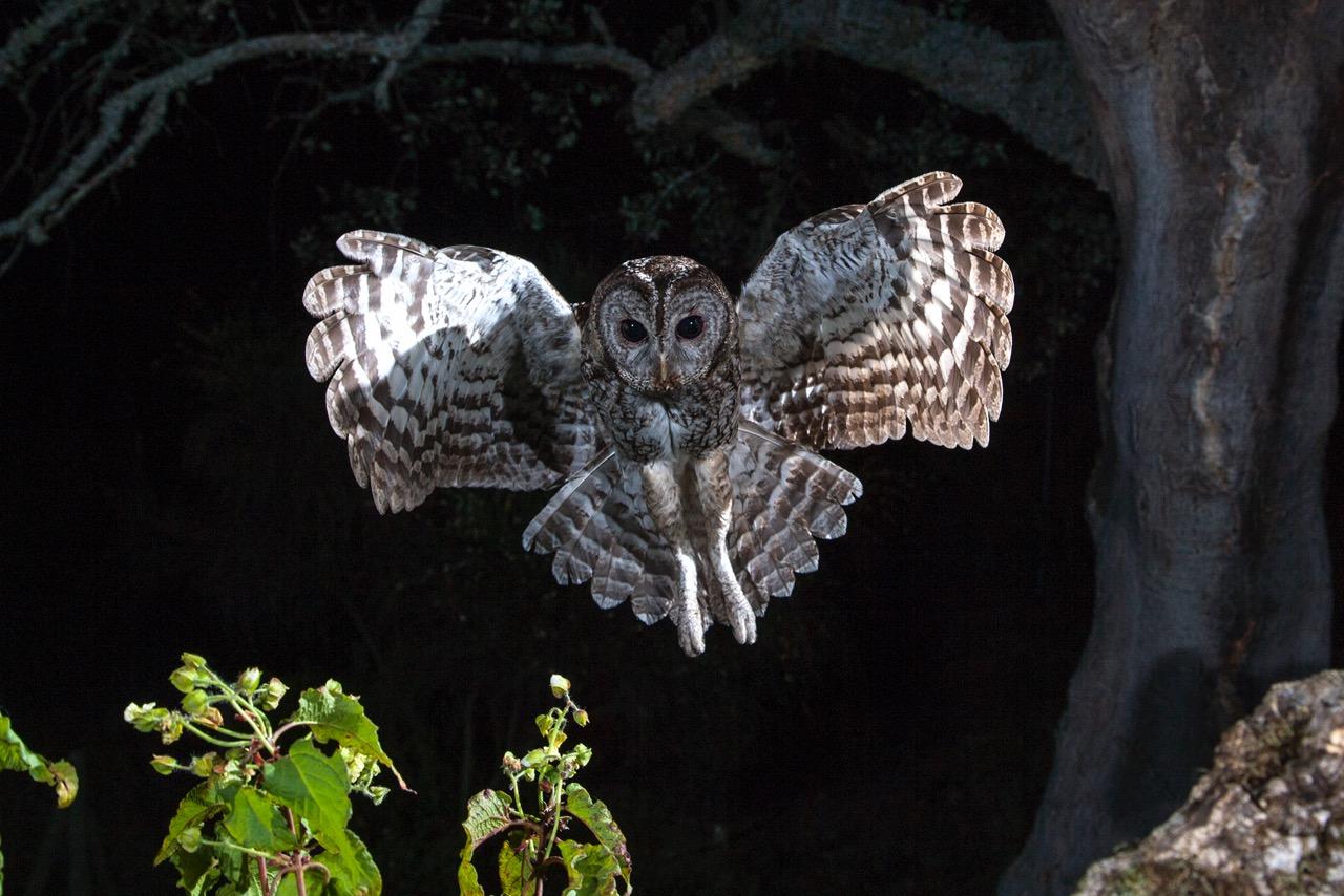HIDE CÁRABO, Strix aluco, Tawny owl.