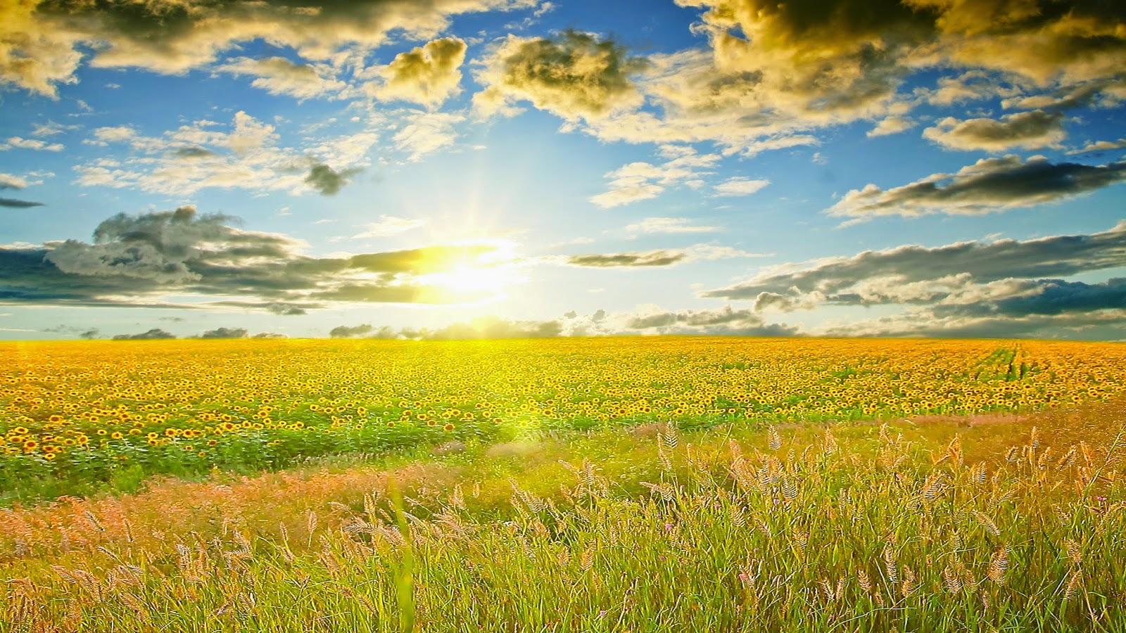 hd wallpapers sunrise on sunflowers field hd wide