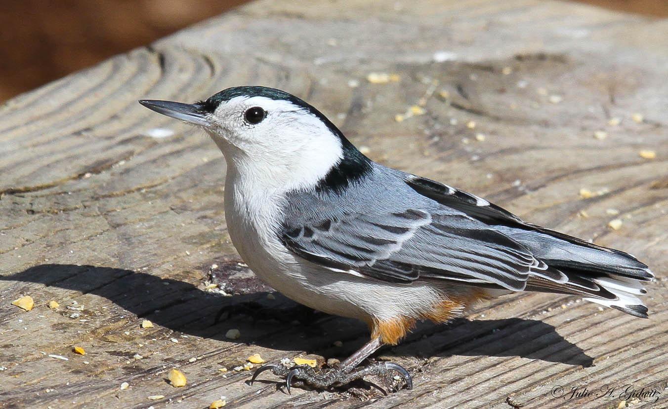 Nature's Splendor: Backyard Birds
