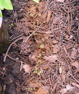 12.05. Всходы капусты от блошки посыпаю табачной пылью