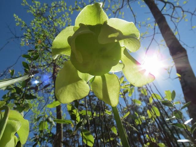 Sarracenia alata flower
