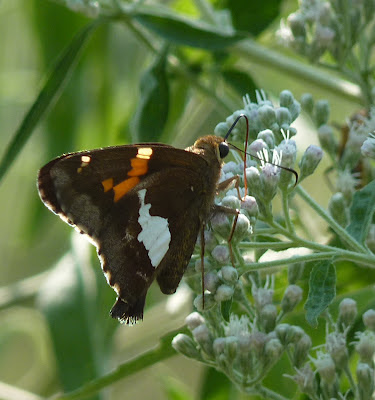 silverspotted skipper
