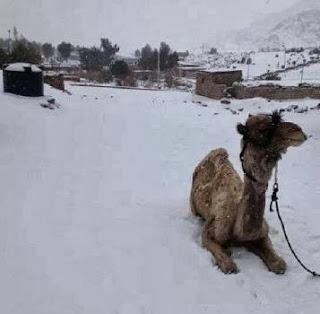 Unta, hewan ikon padang pasir, duduk diam merasakan salju.