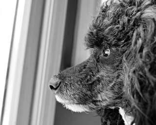black white miniature poodle dog sideview stare