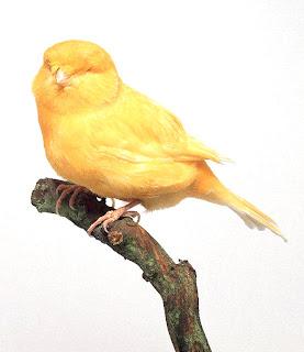 canario norwich