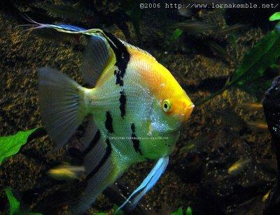 Aquarium fish others angel fish for Fish compatible with angelfish