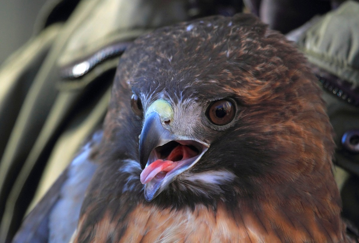 Close-up of female Red-tailed Hawk