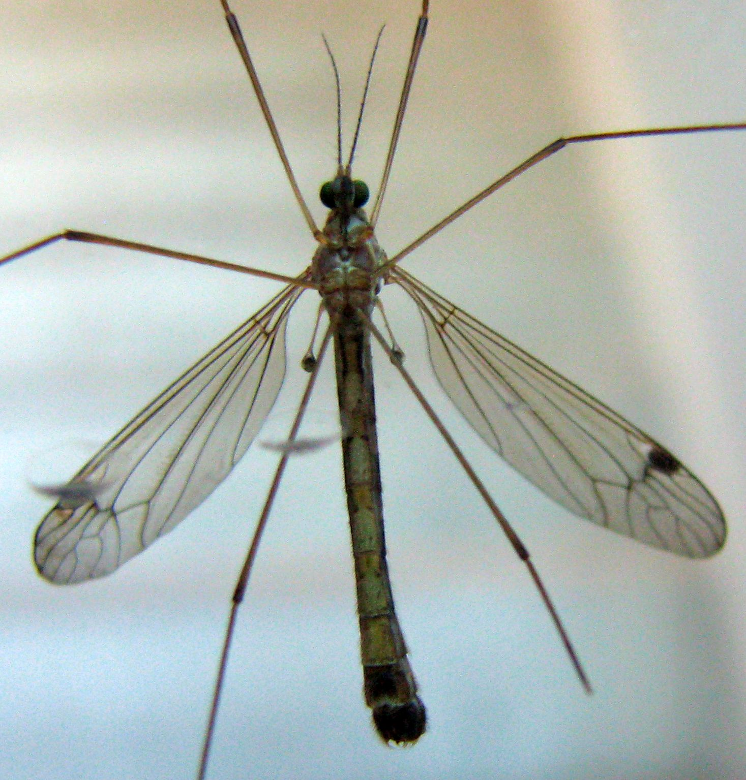 backyard critter watch mosquito eaters aka crane flies