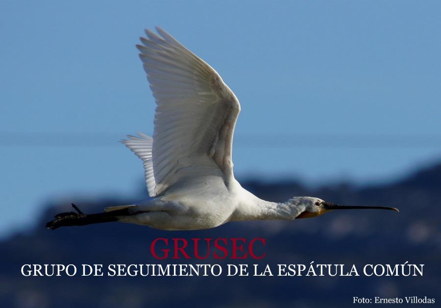 GRUSEC   European spoonbill (platalea leucorodia) study group