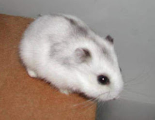 Hamster Winter White