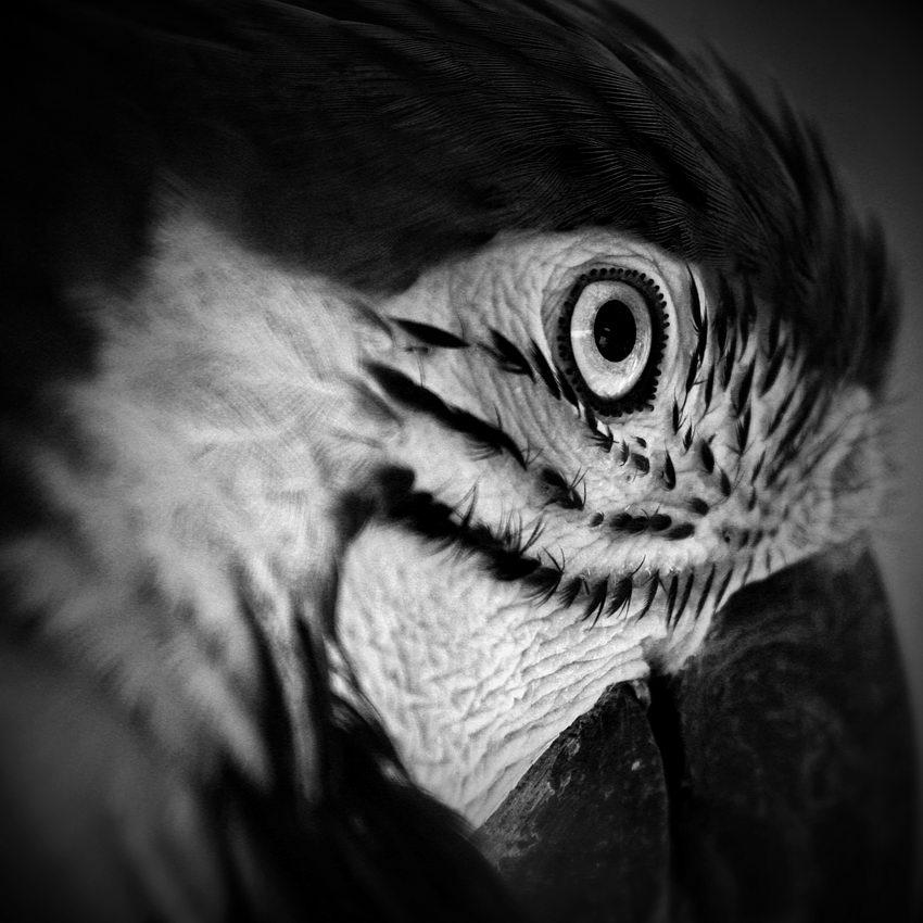 Pormenor da cabeça de um papagaio com o olho em destaque
