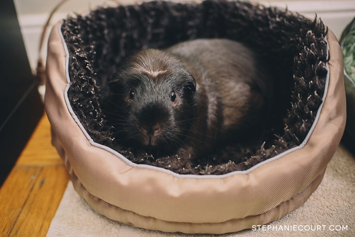 cute guinea pig in cuddle cup