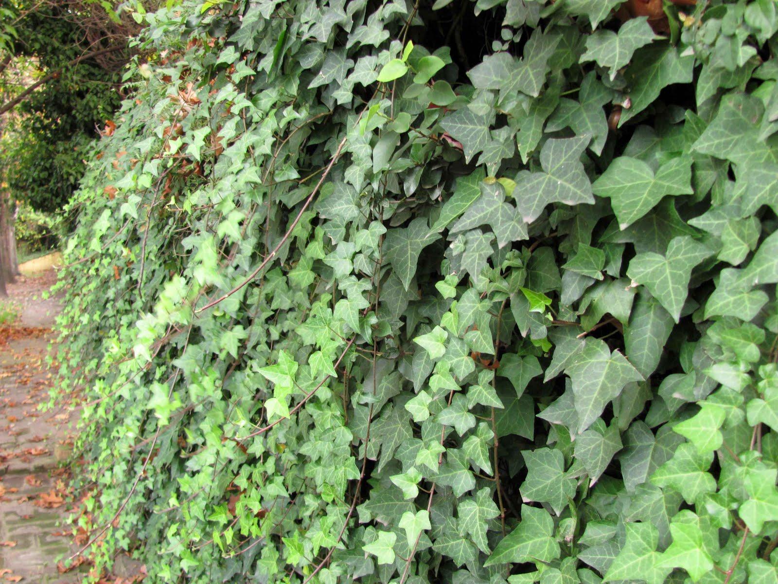 En el jardin enamorarse del muro y algo m s for Plantas trepadoras para muros