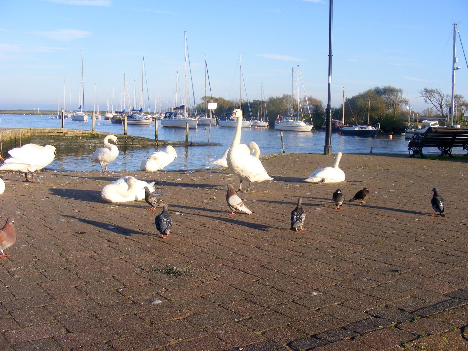 bay swans, seegulls